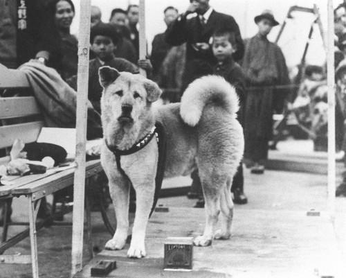 Charakter Und Erziehung Akita Und Shiba Inu Zuchter Sachsen